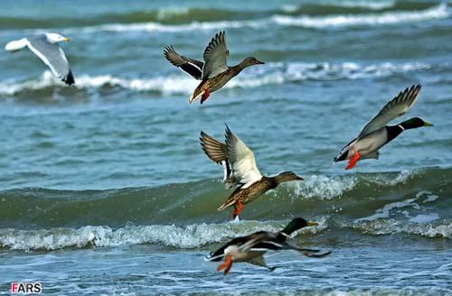 شکارچیان غیرمجاز همچنان در کمین شکار پرندگان مهاجر گیلان