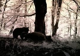 تغذیه خرس های شهرستان رشت از زباله های جنگل سراوان