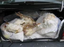 کشف ۱۲۰ کیلو گرم مرغ مرده که قرار بود طبیعت صومعه سرا را آلوده کند