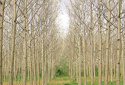 سودآوری صنوبر دو برابر شالیکاری است/ طرح تنفس جنگلها فرصت یا تهدید!؟
