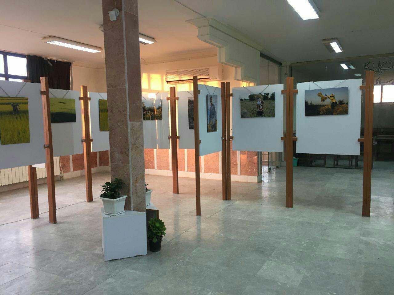 نمایشگاه عکس کاشت،داشت و برداشت برنج در سیاهکل افتتاح شد