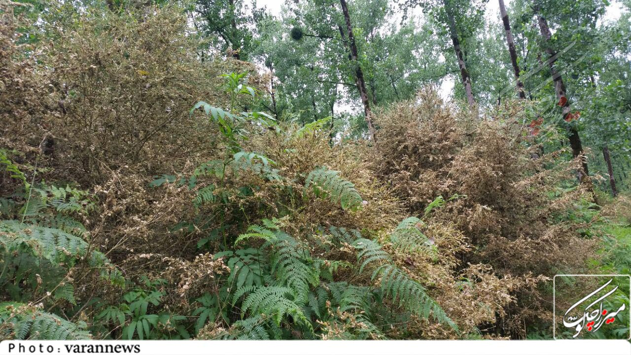آفت، چالش جدی درختان جنگلی شمشاد تنیان