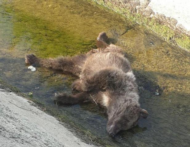 خرس قهوه ای، قربانی شکارچیان متخلف در تنیان صومعه سرا شد