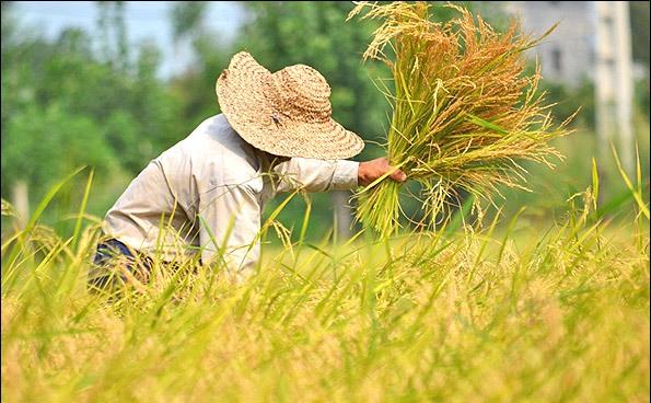 درخواست نمایندگان شمالی کشور از رئیس جمهور: واردات برنج را ممنوع کنید
