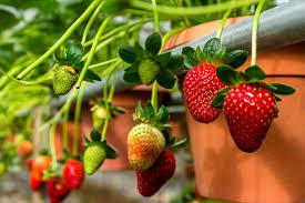 برداشت نوبرانه توت فرنگی در باغهای گیلان آغاز شد.